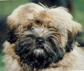 lhasa apso - information and photo gallery