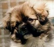tibetan spaniel - information and photo gallery