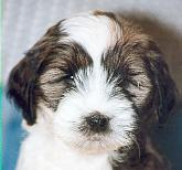 tibetan terrier - information and photo gallery